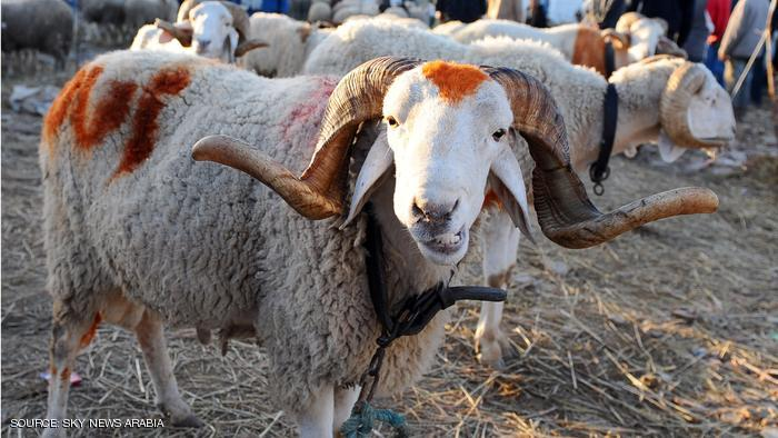 A sheep is seen at a Mellacine animals market where Tunisians buy sheep on November 12, 2010 in preparation for the Muslim holiday of Eid al-Adha, or the Feast of Sacrifice, which marks the end of the annual Hajj pilgrimage to Mecca and is celebrated in remembrance of Abraham's (or Ibrahim's) readiness to sacrifice his son to God. AFP PHOTO / FETHI BELAID (Photo credit should read FETHI BELAID/AFP/Getty Images)
